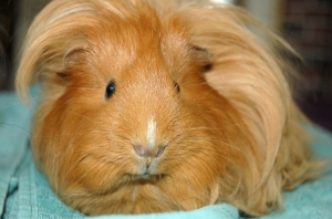 guineapigs-cute-fluffy-1946757-h